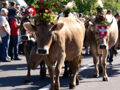 Alpabzug – Cows Descending the Mountain in Elm, Engelberg, Flumserberg, Brigels, Urnasch…