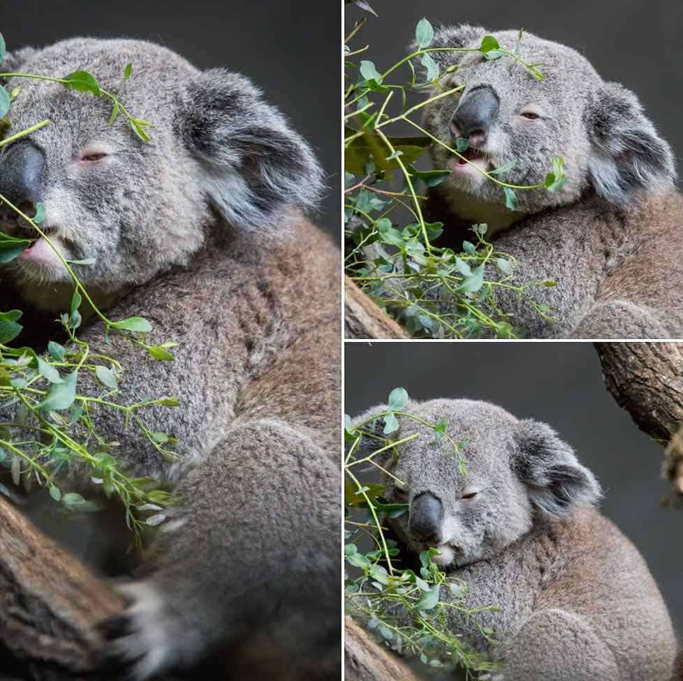Koala bears at Zurich Zoo