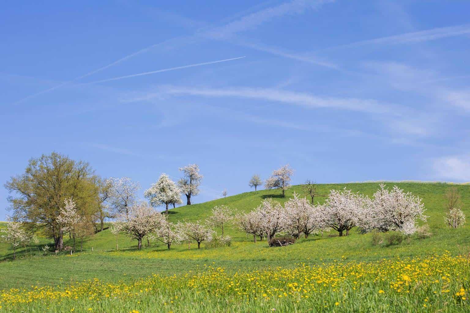 Chriesiweg - The Cherry Blossom Trail Frick Switzerland
