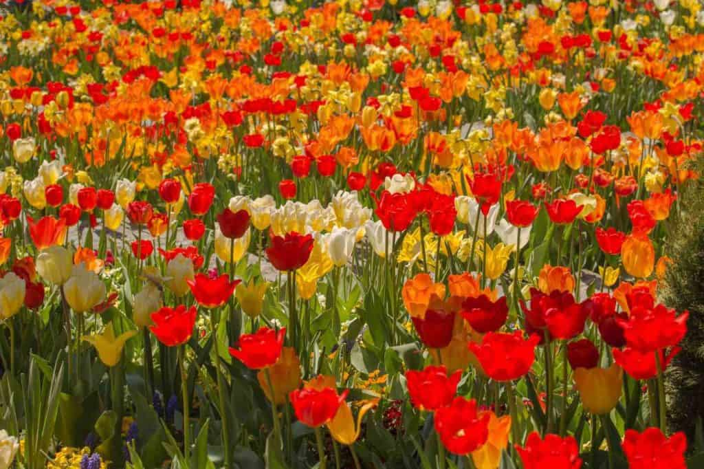 Tulips at The Flower Island of Mainau Germany