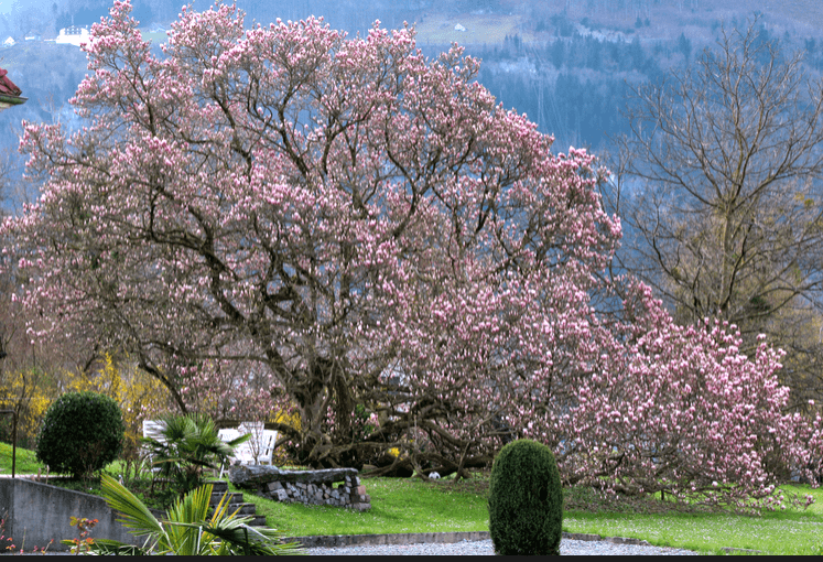 Magnolia Tree © NewInZurich