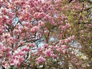 Spring Flowers in and Around Zurich