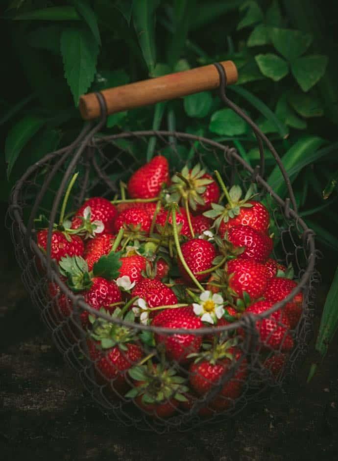 Strawberry Picking in and Around Zurich