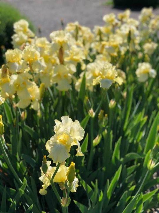 The Iris and Lily Garden Belvoir park Zurich