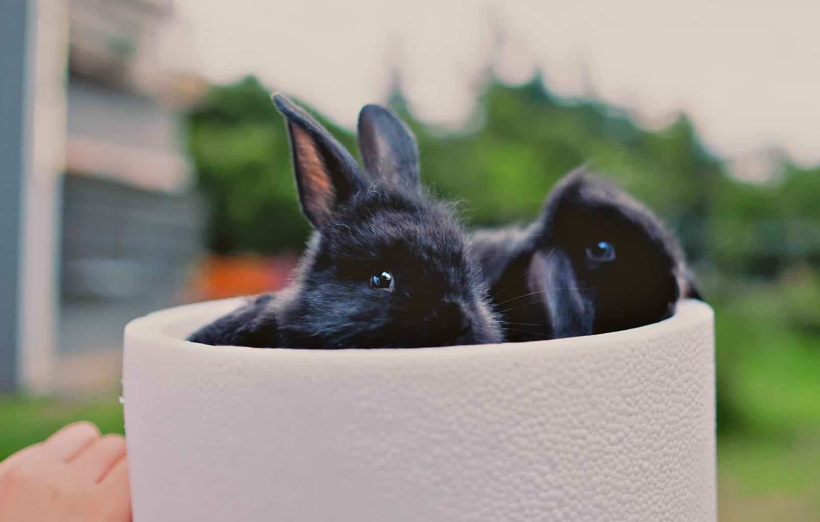 Crazy swiss facts - rabbits and pets
