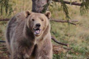 Bärenland Arosa - Bears Rescued By Vier Pfoten in Switzerland