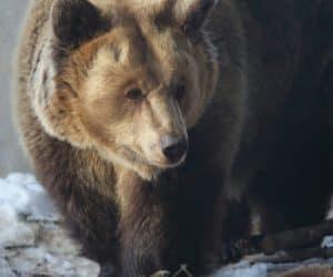 Bärenland Arosa -Rescued Bears Living Happily in Switzerland