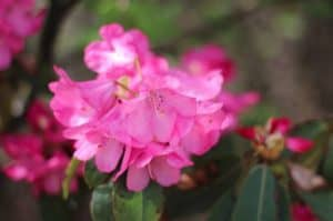 Spring flowers - rhododendron