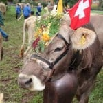 Alpabzugs, Alpabfahrts, Alp Processions & Cow Parades in Switzerland