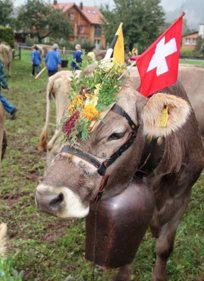 Cows Alpabzug Switzerland