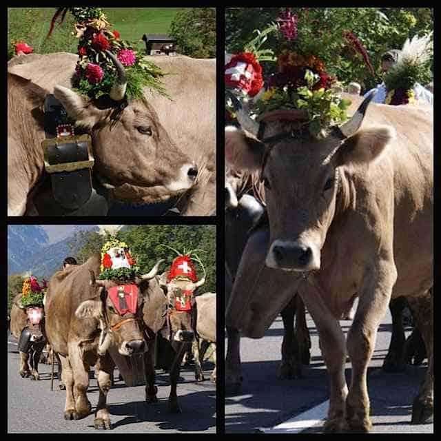 Cows Alpabzug