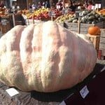 Biggest Pumpkin in the World in Switzerland!