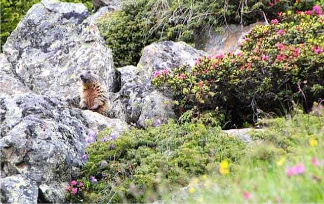marmot in Switzerland
