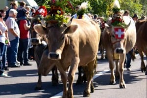 cow parades in Switzerland