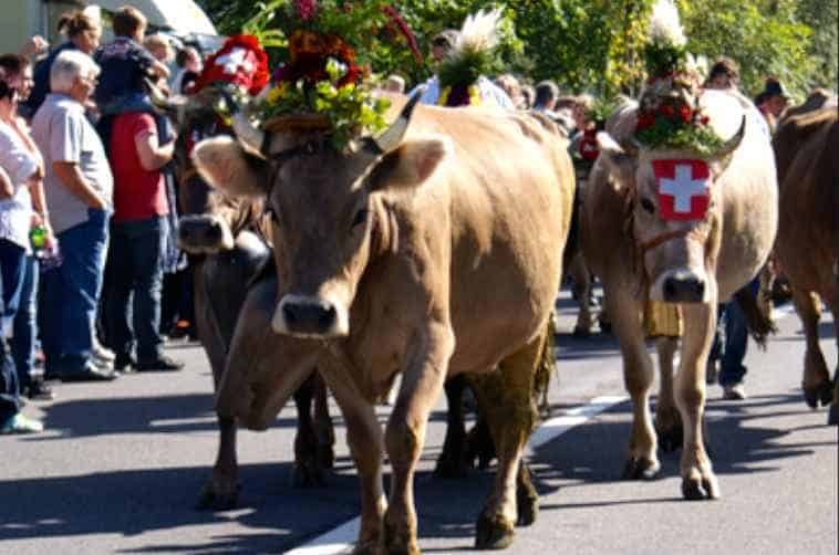 cow parades in Switzerland