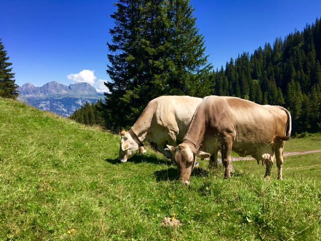 Flumserberg cows