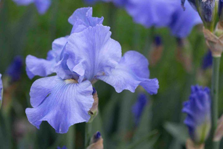 The Stunning Iris Collection at Belvoir Park Zurich