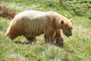Serbian Bears in Arosa at the Bear park Arosa