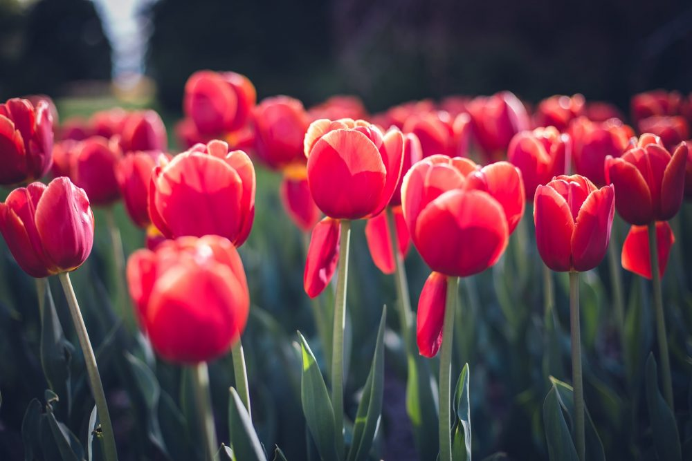 The Annual Tulip Festival in Morges Switzerland (Free)
