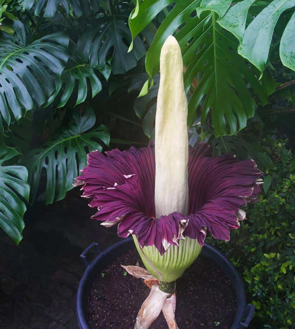 The Long Awaited Blooming of Titum Arum at the Botanical Garden Zurich