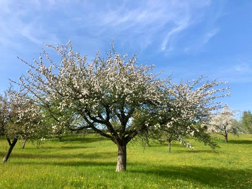 Swiss blossom trees in Spring