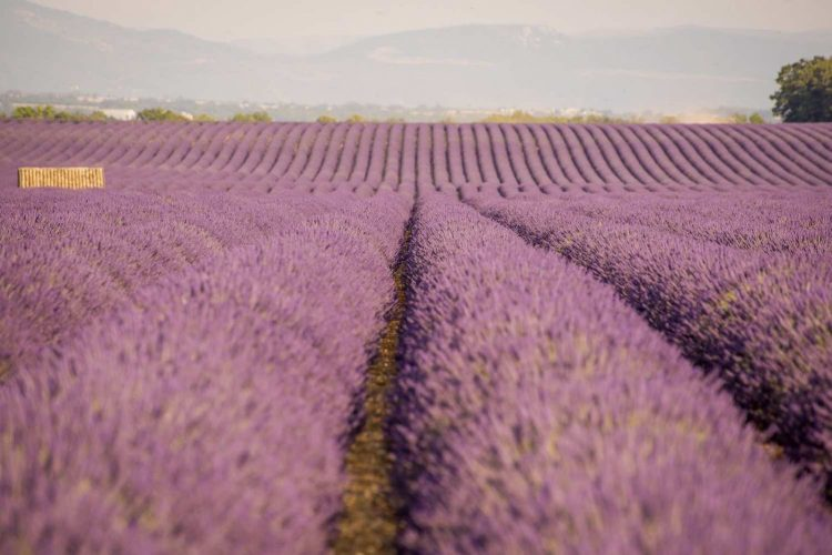 Lavender Fields - Swiss School of Photography Photography Courses
