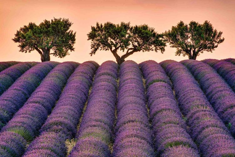 lavender field by Swiss School of Photography Photography Courses