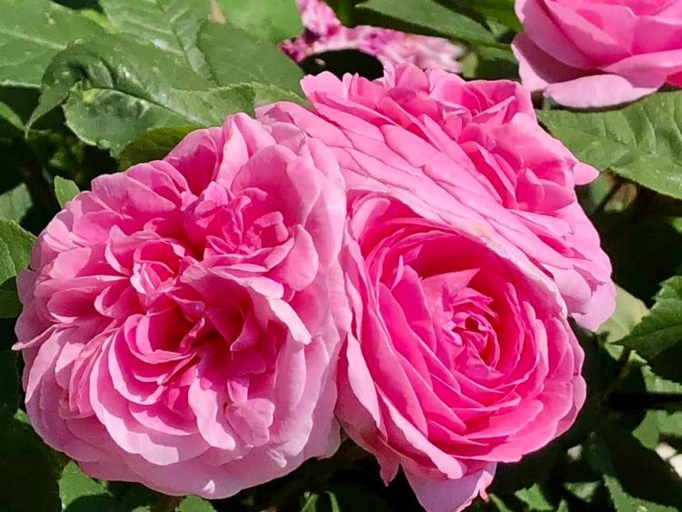 Pink roses in Iseltwald