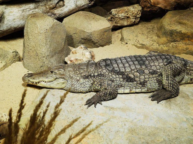 Alligator at Aquatis Aquarium Vivarium Lausanne