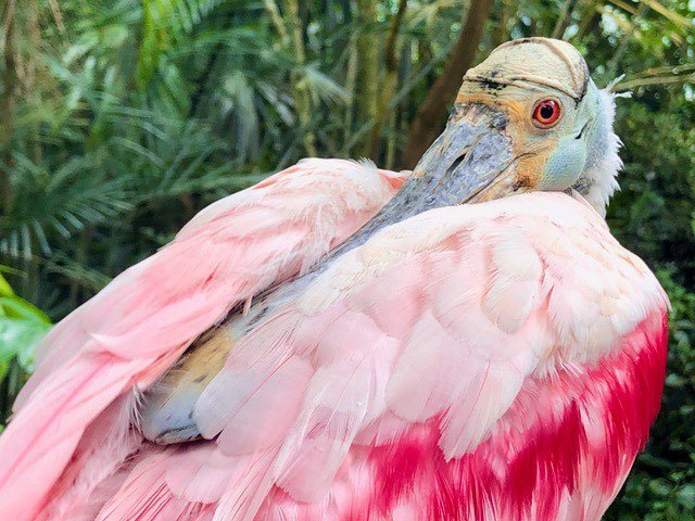 Exotic pink bird at Butterfly World Papiliorama