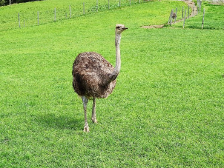 Ostrich in Gstaad