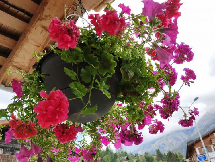 Hanging basket of geranium flowers