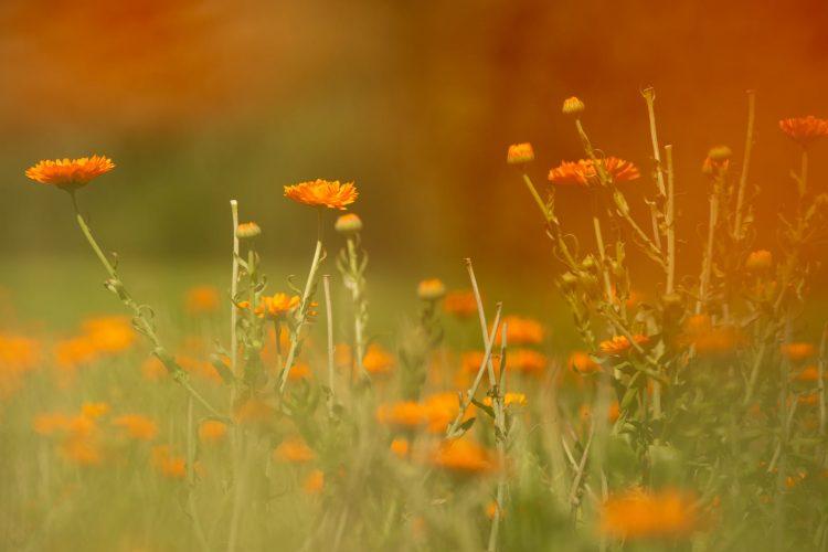 Raselli herbs and flowers Le Prese Poschiavo