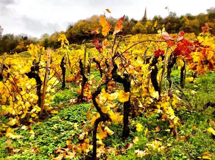 Vineyards on A Circular Hike Around Eglisau in Autumn