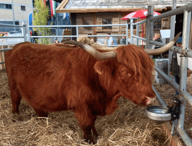cattle at Zuspa