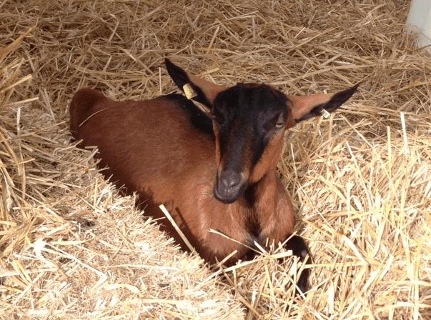 goat at Zuspa